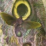 mothmen